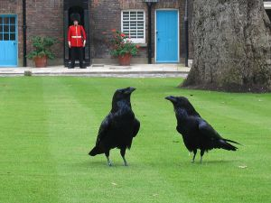 800px-london_tower_ravens