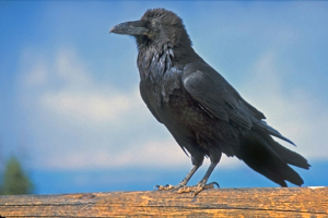 common_raven_at_byrce_national_park